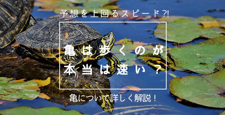 【亀は本当に歩くのが遅い?】予想を上回る速さで走る亀に注目