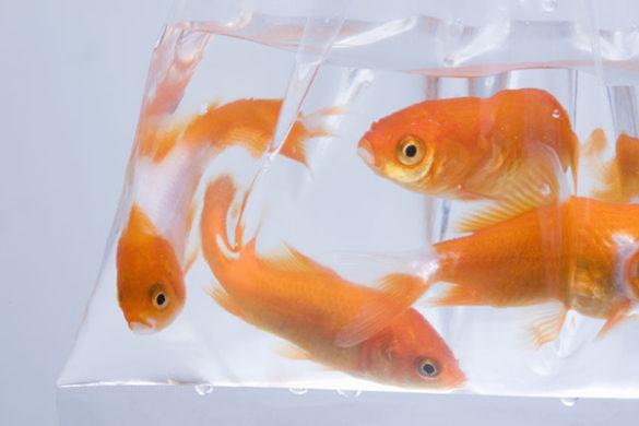 救われた金魚