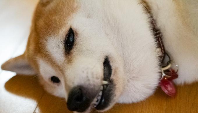 ぐったりする犬