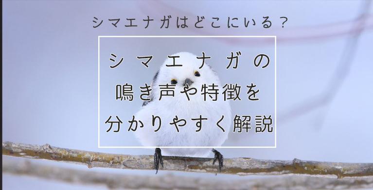 【シマエナガが生息する場所はどこ?】鳴き声や特徴を知って見に行こう